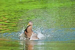 Duck Splashing Water Royalty Free Stock Images - Image: 18274599