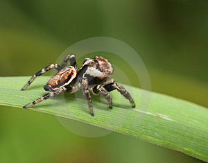 Jumping Spider Royalty Free Stock Image - Image: 18282566