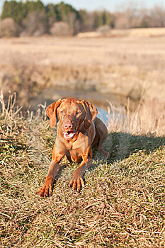 Crouching Vizsla Dog (Hungarian Pointer) Royalty Free Stock Photos - Image: 18282918