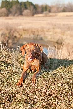 Crouching Vizsla Dog (Hungarian Pointer) Royalty Free Stock Photos - Image: 18282918