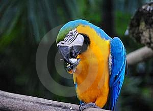 Macaw Licking Stock Photo - Image: 18285660