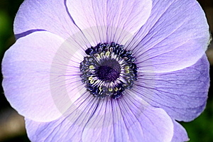 Flower Details (Purple Anemone) Royalty Free Stock Photography - Image: 18285887