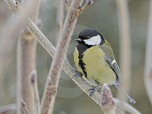 Great Tit (Parus Major) Royalty Free Stock Images - Image: 18286219