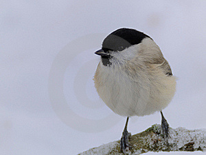 Marsh Tit (Poecile Palustris) Royalty Free Stock Photo - Image: 18286495