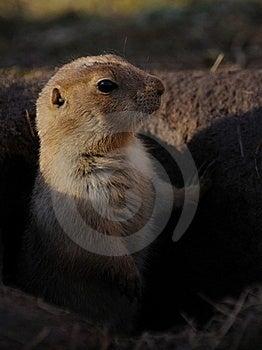 Prairie Dogs (Cynomys) Stock Photo - Image: 18287660