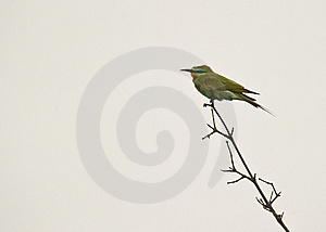 The Blue-cheeked Bee-eater Stock Photos - Image: 18289423
