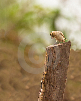 A Curious Bush Petronia Stock Photography - Image: 18289452