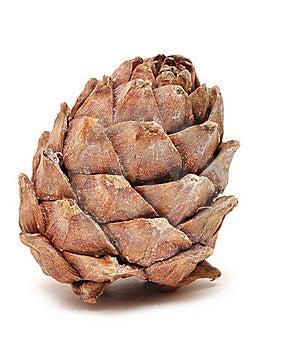 Single Cedar Cone Stock Photos - Image: 18290193