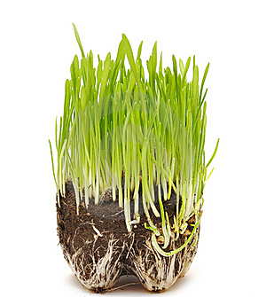 Green Grass Growing From The Roots In The Ground Royalty Free Stock Photos - Image: 18290438