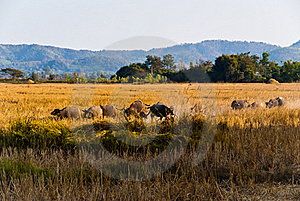 Caravan Of Buffaloes Royalty Free Stock Photos - Image: 18297268
