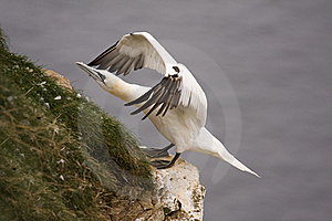 Gannet At Troup Head Stock Photography - Image: 18297742