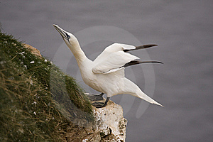 Gannet At Troup Head Stock Photos - Image: 18297753