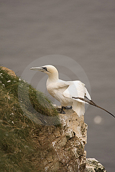 Gannet At Troup Head Stock Photo - Image: 18297760