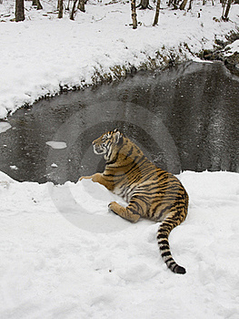 Siberian Tiger In The Snow Royalty Free Stock Image - Image: 18297836