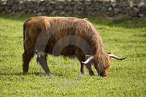 Highland Cows Stock Image - Image: 18297901