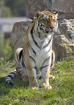 Tiger Sitting Stock Images - Image: 1835504