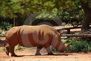 Белый носорог Стоковые Изображения - изображение: 1838904