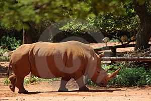 Biała Nosorożec Obrazy Stock - Obraz: 1838904