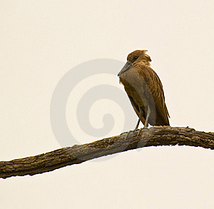 Hamerkop Roosting On A Branch Royalty Free Stock Photos - Image: 18301048