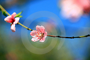 Apricot Bloom Stock Photography - Image: 18301172