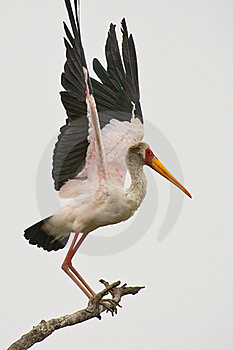 A Yellow-billed Stork Keeping Balance Stock Images - Image: 18317084