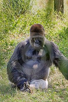 Intimidating Western Lowland Gorilla Stock Images - Image: 18323174