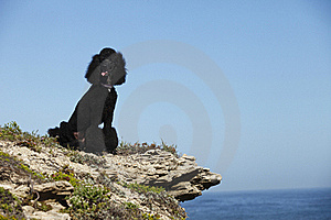 STandard Poodle On Beach Royalty Free Stock Photo - Image: 18324765