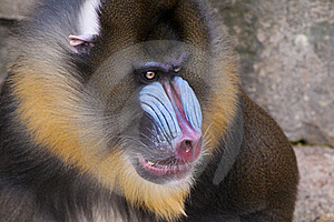 Drill Monkey Portrait Royalty Free Stock Image - Image: 18327736