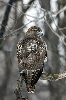 Red Tailed Hawk (Buteo Jamaicensis) Royalty Free Stock Photo - Image: 18328865