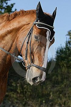 Hessian Warmblood Horse Royalty Free Stock Photos - Image: 18338888