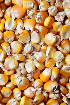 Dry Corn Royalty Free Stock Images - Image: 18341869