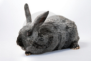 Gray Rabbit Stock Images - Image: 18349964