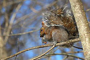Gray Squirrel Royalty Free Stock Photography - Image: 18353067