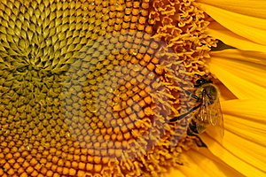 Bee And Sunflower Royalty Free Stock Image - Image: 18359006