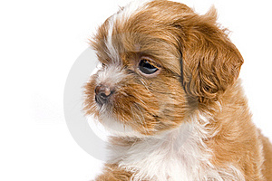 Brown Little Havanese Puppy Stock Images - Image: 18362114