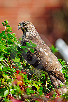 Cooper's Hawk Stock Photo - Image: 18363140