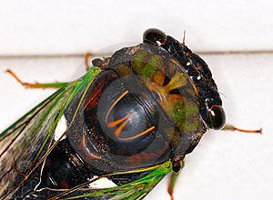 Cicada Stock Photo - Image: 18363170