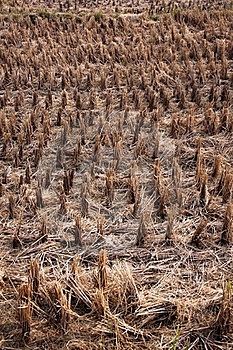 Rice Fields After Harvest Stock Photos - Image: 18375383