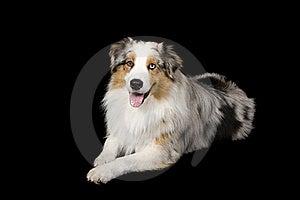 Austrailian Shepherd Dog Stock Photos - Image: 18380093