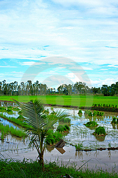 Rice Field In Thailand. Royalty Free Stock Images - Image: 18380469