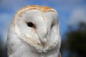 Barn Owl (Tyto Alba) Stock Photos - Image: 18385573