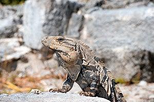 Iguana Royalty Free Stock Image - Image: 18387816