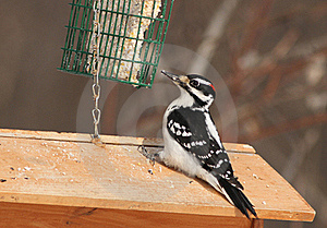 Hairy Woodpecker Royalty Free Stock Photography - Image: 18395097