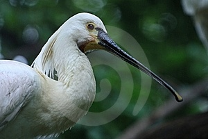 White Spoonbill Royalty Free Stock Photography - Image: 18397527