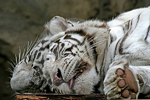 Two White Tigers. Stock Photo - Image: 1840490