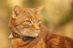 Ginger Cat Stock Photos - Image: 1841413