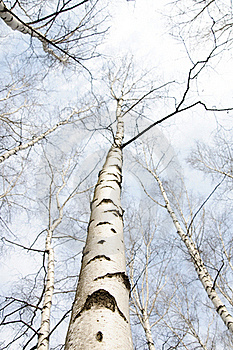 Early Spring In A Birch Forest Royalty Free Stock Photos - Image: 18400798