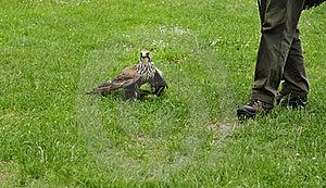 Falconer With Falcon,falco Cherrug . Stock Images - Image: 18402044
