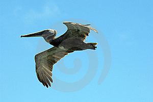 Galapagos Pelican Stock Images - Image: 18407054