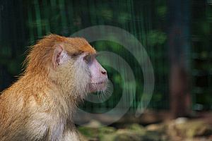 Monkey In A Zoo Royalty Free Stock Images - Image: 18415519